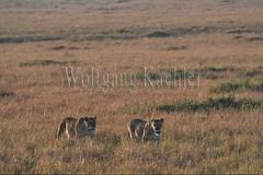 10077944 (wolfgangkaehler) Tags: 2016africa african eastafrica eastafrican kenya kenyan masaimara masaimarakenya masaimaranationalreserve wildlife mammal bigcat predator predatory bigfive lionpantheraleo lioness femaleanimal lionpride walking grassland grasslands