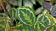 Calathea Roseopicta....................Thank You Marci for Naming This Plant (standhisround) Tags: leaves nature calathea calathearoseopictamedallion tropical rbg royalbotanicalgardens kewgardens kew london uk