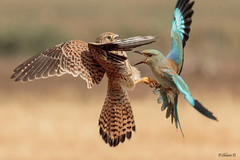 The fight on the stump (Dave 5533) Tags: europeanroller bird commonkestrel wild nature birdofprey canon7dmk2 sigma150600mmf563dgoshsm|s animal naturephotography wildlife inexplore 5awarded