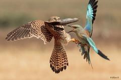 The fight on the stump (Dave 5533) Tags: europeanroller bird commonkestrel wild nature birdofprey canon7dmk2 sigma150600mmf563dgoshsm|s animal naturephotography wildlife inexplore 5awarded