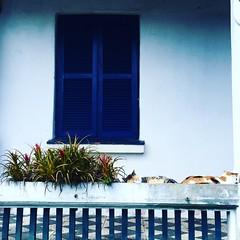 Vaso de gatos! (deisegomes1) Tags: vasodeflor lagartiando soninho house garden gato windows vaso cat iphone