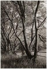 willows (Rainer Schlepphorst) Tags: germany brandenburg eberswalde weiden blackandwhite salix trees nikonfm2 ilfordhp5