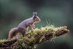 Eurasian red squirrel (Sciurus vulgaris) (Marcus Antonius Braun) Tags: eurasian squirrel red sciurus vulgaris green branch mammal woods log