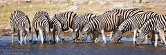 Plains Zebra At The Waterhole (Hank Christensen) Tags: africa drinking herd natural wildlife outside water nature nationalpark waterhole plainszebra outdoor stripes etoshanationalpark namibia animals