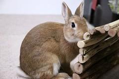 Ichigo san 418 (mensore) Tags: rabbit bunny netherlanddwarf brown cute pet family ichigo