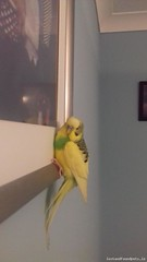 Fri, Oct 21st, 2016 Found Male Budgie Bird - Bramblefield Crescent, Dublin, Fingal (Lost and Found Pets Ireland) Tags: foundbudgiebirdbramblefieldcrescentdublin found budgie bird bramblefield crescent dublin october 2016