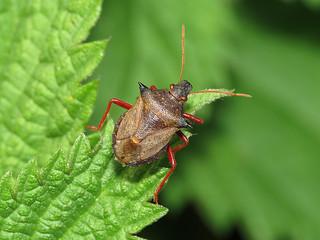 Spiked Shieldbug (Picromerus bidens)