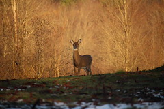 Cresting Whitetail (Salamanderdance) Tags: deer whitetailed white tail tailed mammal animal