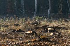 ckuchem-7205 (christine_kuchem) Tags: wald abholzung baum baumstmme bume einschlag fichten holzeinschlag holzwirtschaft waldwirtschaft