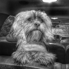 """Charlie"" (mckenziemedia) Tags: shotoniphone7plus shotoniphone iphone7plus iphoneographer iphone beautiful cute monochrome blackandwhite portrait yorkie yorkiepoo dog"