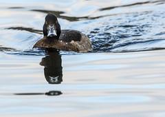 Tufted Duck (9) (grahamh1651) Tags: helstonboatinglake birds gulls ducks geese waterbirds swans