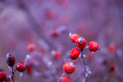 Rosehip (alainebarnekow) Tags: rosehip nature fantasticnature winter red beautiful cold frosty ilovenature