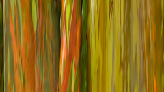 Rain on Rainbows (Kevin Benedict Photography) Tags: hana maui hawaii rainboweucalypus icm verticalpan nature nikon landscape abstract rain rainy rainbow vibrant natural colors photobenedict tree trees travel roadtohana rainforest pacific island