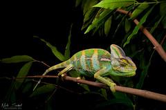 Veiled Chameleon (Nick Scobel) Tags: veiled chameleon chamaeleo calyptratus florida exotic invasive species wide angle