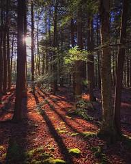 Into The Woods, 2016.11.07 (Aaron Glenn Campbell) Tags: instagramapp iphoneography uploaded:by=instagram jaggr 645promkiii thornhursttownship lackawannastateforest mannygordonrecreationsite lackawannacounty nepa pennsylvania ios10 iphone7plus snapseed priime forest wooded woods hemlock backlit backlighting sunlight shadows shade