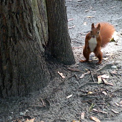 hide and seek (kexi) Tags: warsaw poland europe quare animal red squirrel funny nikon coolpix october 2015 nature instantfave cemetery autumn