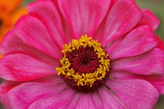 Cheer up (candiceshenefelt) Tags: zinnia pink flower cheery love flora beauty beautiful happiness macro explore inexplore