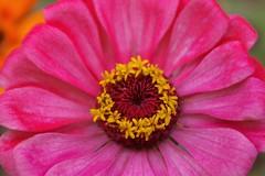 Cheer up (candiceshenefelt) Tags: zinnia pink flower cheery love flora beauty beautiful happiness macro explore inexplore
