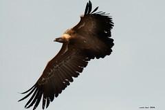 Negro vuelo (Enllasez - Enric LLaó) Tags: bulto buitre gallocanta aves aus aragón bird ocells pájaros 2016