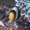 Anemonenfisch (blichb) Tags: 2015 indonesien inonz240 leicadgmacroelmarit12845 lembeh lembehstrait makro nauticam olympusomdem1 sulawesi tauchen unterwasser unterwasserfotografie untewasserfotografie blichb scuba underwater