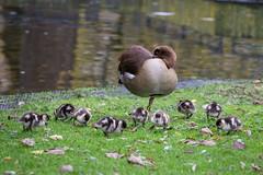 2016-11-17-14h30m17.BL7R4983 (A.J. Haverkamp) Tags: canonef100400mmf4556lisiiusmlens amsterdam noordholland netherlands zoo dierentuin httpwwwartisnl artis thenetherlands nijlgans egyptiangoose