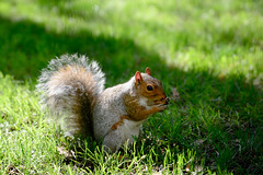 Squirrel@Madison (D's photography.) Tags: squirrel medison square garden natuer