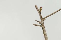 Pica-pau-verde-barrado - (Colaptes melanochloros) (Mozart Souto) Tags: picapau picapauverdebarrado colaptesmelanochloros aves pssaros wildlife wil