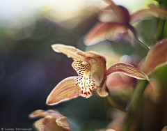 Orchid Bokeh (mjardeen) Tags: olympus100mmƒ2zuiko om olympus 100mm ƒ2 zuiko tacoma washington sony a7ii a7m2 fall plants color flower orchid bokeh dof depthoffield on1effects on1 petals vibrant texture pattern