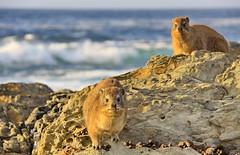 (johey24) Tags: animals africa southafrica africananimals safari dassie mpt515 matchpointwinner