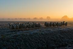 Frosty, foggy sundown... (CarolienCadoni..) Tags: sonyslta99 sal2470z sun sundown sunset sky sony sheep light frost frosty foggy trees photography landscape groningen netherlands nederland december
