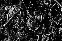 Withered on the vine (Mr Richie) Tags: panasonic lumix lx5 digital monochrome bw blackandwhite garden film grain night filmgrain