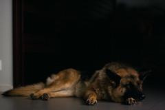 (catarinha) Tags: german shepherd dog relaxing sleeping mar