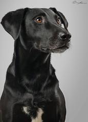 Portos (ColognePhotograph) Tags: dog labrador galgo black blackwhite animal animalshooting cute pet