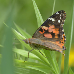 Painted Lady_1438 ( Vanessa cardui ) (agawa2yukon) Tags: lepidoptera nymphalidae nymphalinae