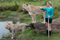 Lion Petting (Ron Scubadiver's Wild Life) Tags: girl woman candid street style nikon south africa outdoor 24120 lion carnivore