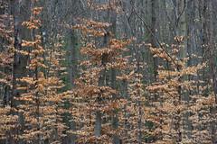 ckuchem-0246 (christine_kuchem) Tags: baumrinde blätter bäume frühjahr frühling frühlingsanemone hainbuche jungpflanze laub laubbäume laubwald pflanzen wald winter jung äste