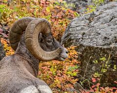 Autumn Ram (craig goettsch) Tags: rockymountainbighornsheep ram male mammal animal autumn fall fallcolors nature wildlife wyoming nikon d500