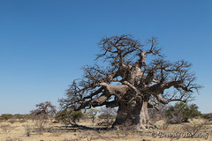 39-Botswana_2016 (Beverly Houwing) Tags: africa ancient baobab botswana desert islandoflostbaobabs kalahari makadigkadipans massive saltpan tree
