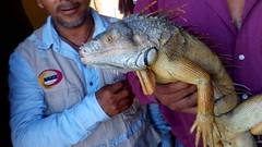 IMG_20151209_144924 (estradelirius) Tags: iguana garrobo