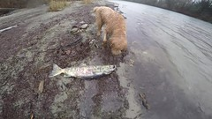 Catching Chum Salmon in the Skagit on a cold rainy day with my dog (_Kickstand) Tags: skagitriver skye chumsalmon flyfishing