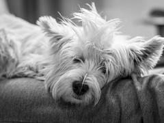 Hundemde (Vintage lens lover - busy, busy) Tags: pippa terrier westie westhighlandwhiteterrier bw minolta rokkor em1 m43