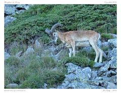 Mouflon (BerColly) Tags: france auvergne puydedome mammiferes mammales mouflon sancy montagne mountain rocher rocks ete summer bercolly google flickr