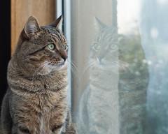 Watching (Zou san) Tags: cat pet indoor window sony nex3n nikkor 50mmf14ais