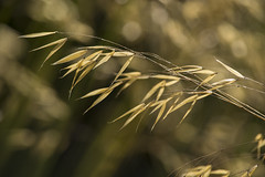 Golden Grass (Ang1852) Tags: grass reading harrisgardens goldengrass