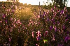 Wonderland 2 (pottpix) Tags: flowers nature natur feld blumen gras blume heide haltern pottpix