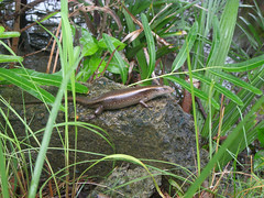 Skink - World Lizard Day (Kingshuk Mondal) Tags: world life day lizard skink organism kingshuk kingshukmondal