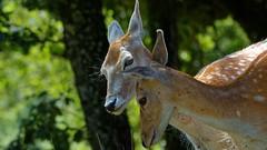 Parc animalier des Pyrnes - 424 (sebwagner837_55) Tags: animal parc pyrnes dain biche animalier daine argels gazost