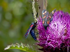 / Zygaena filipendulae / Six-spot burnet /  () / Sechsfleck-Widderchen (katunchik) Tags: butterfly bulgaria schmetterling bulgarien zygaenidae bulharsko