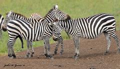 "JHG_9971-b Zebras ""nuzzling"" at the waterhole, Nairobi National Park, Kenya. (GavinKenya) Tags: africa park wild nature animal june john mammal photography gavin photographer kenya african wildlife nairobi july grand safari national dk zebra waterhole common zebras naturephotography kenyasafari africansafari 2015 safaris nnp africanwildlife africasafari johngavin nuzzling wildlifephotography nairobinationalpark kenyaafrica kenyawildlife africanwaterhole dkgrandsafaris africa2015 safari2015 kenyawaterhole johnhgavin"