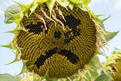 Sad sunflower (schoeband) Tags: schweiz switzerland suisse smiley sunflower svizzera aargau ch gipfoberfrick